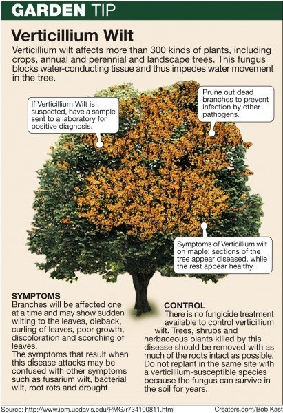Verticillium Wilt Can Damage Tree Tissue Home And Garden