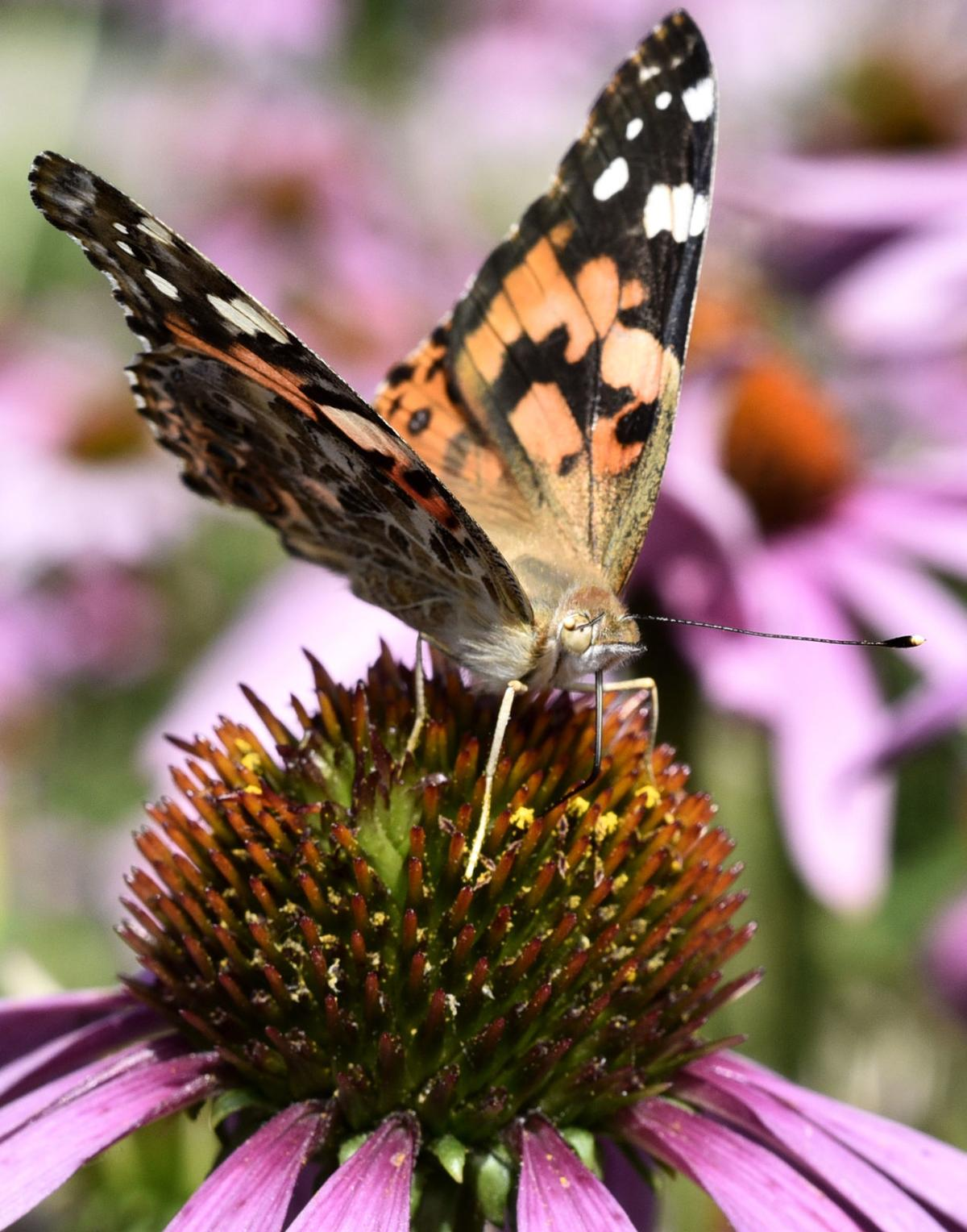 Fair weather butterfly