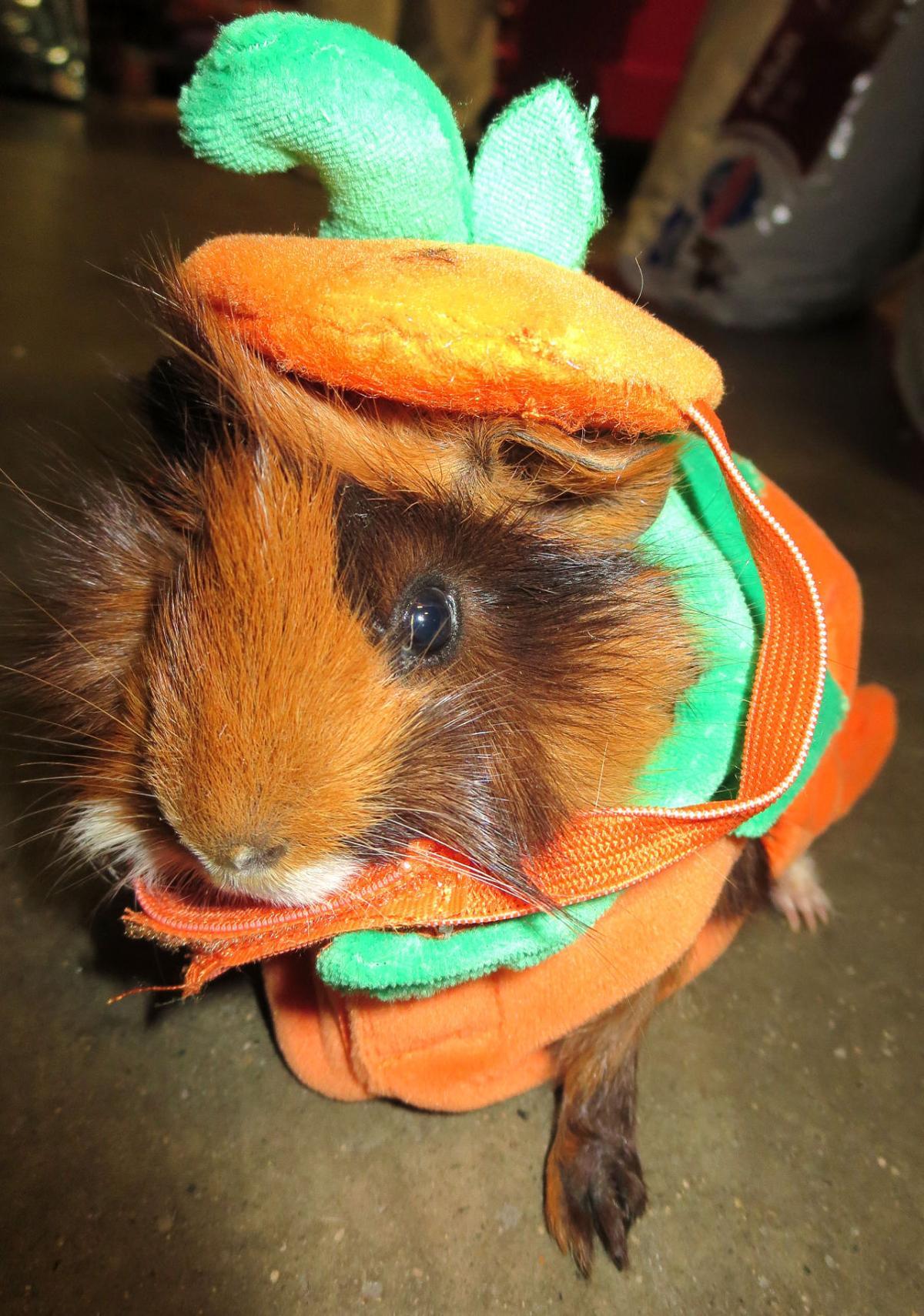 Pumpkin guinea