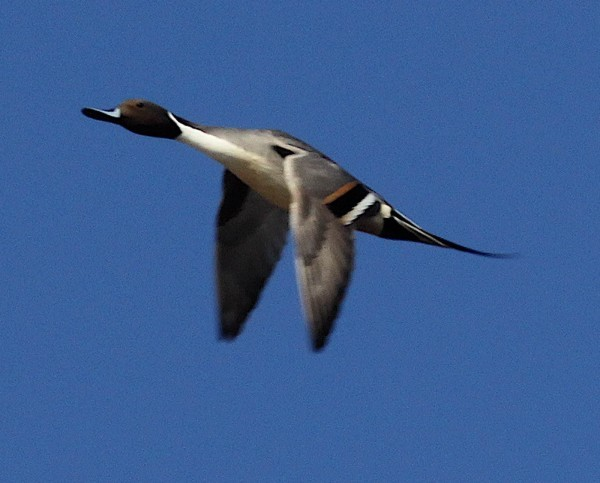 Northern pintails are fast-flying ducks | Outdoors ...