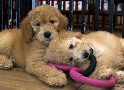 Pet Stores Puppy Mill Law