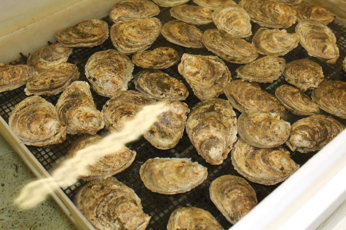 Morgan State S Pearl Gets 150 000 For Oyster Research Local News Somdnews Com