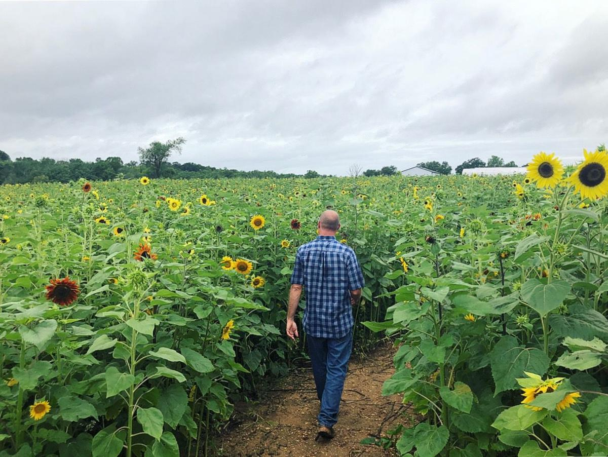 Sunflower Maze In Morganza Becomes A Temporary Work Of Art