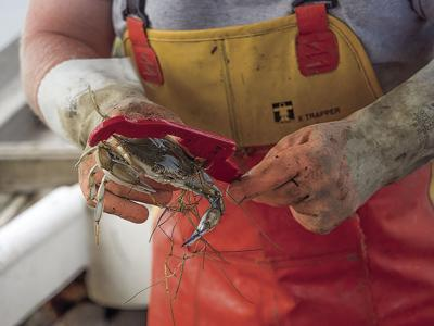 Stability in blue crab population