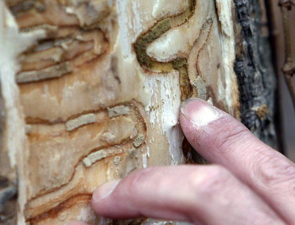 Pesky emerald ash borers killing local ash trees