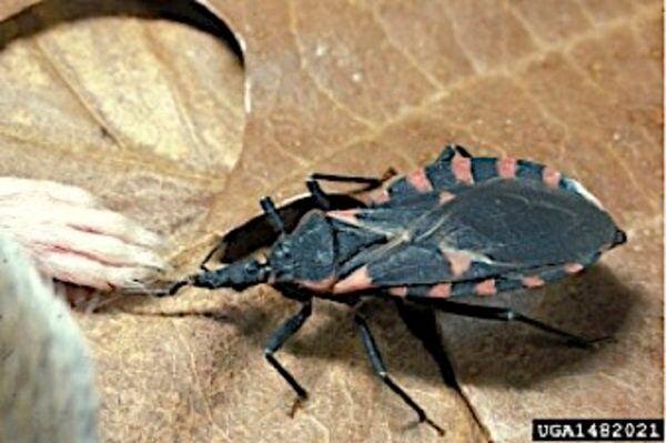 Bloodsucking Conenoses found in Kentucky