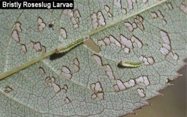 Rose slugs