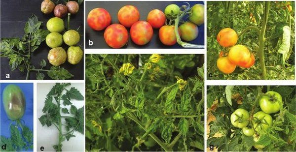 New Tomato Virus Could Pose Threat