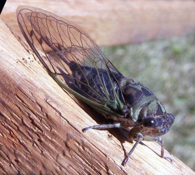 Cicadas making some noise in Pulaski County this summer