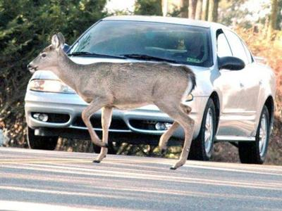 Drivers need to watch out for deer this season