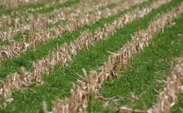 As a Cover Crop, How Does Wheat Compare to Cereal Rye?