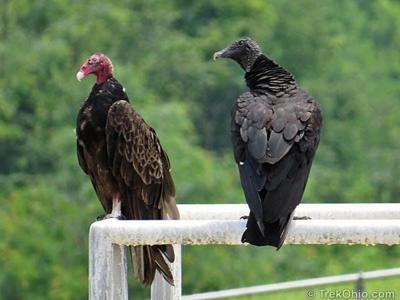 The trouble with Black Vultures