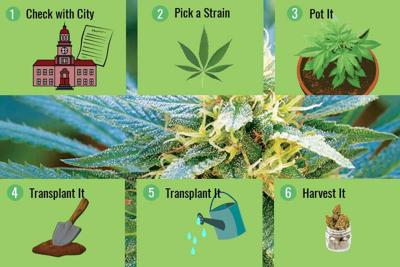 How To Grow Your Four Legal Marijuana Plants: A Beginner's ...