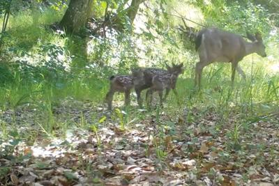deer and 3 fawns
