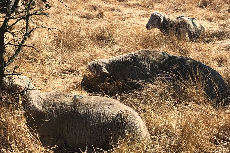 Laguna sheep relaxing