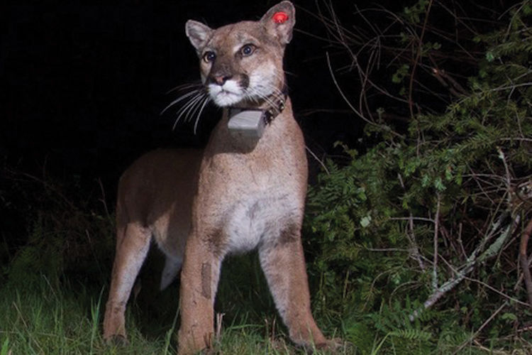 Living with mountain lions | News | sonomawest.com