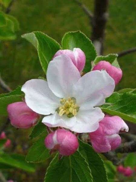 Apple blossom event planned for May 15-16 at Brant's Apple Orchard