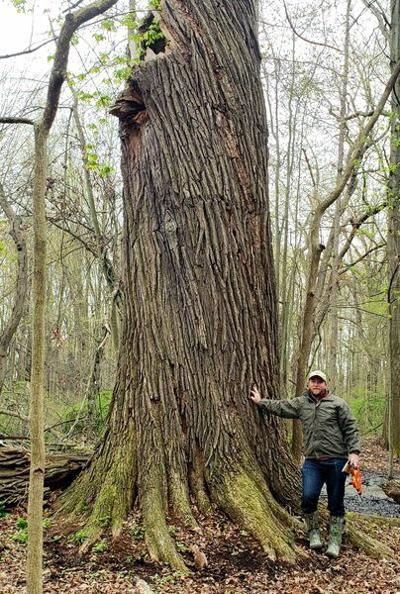Champion swamp white oak tree found in Saybrook