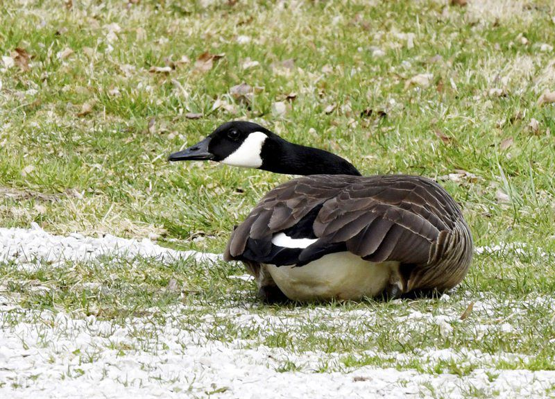 Geese take nest in North Kingsville yard