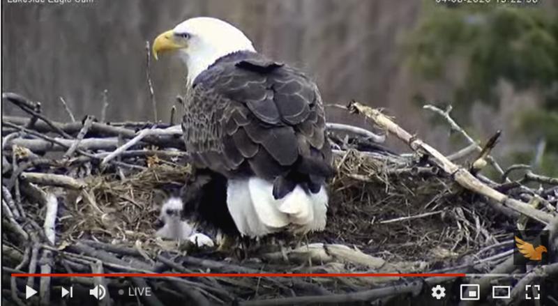 Bald eaglet hatches on Lakeside's live webcam
