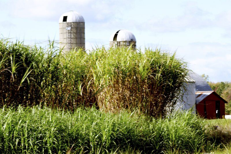 No more market for Miscanthus grass