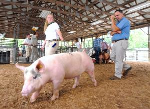Pigs keep cool at the Market Hog Show