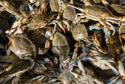 Maryland blue crab could benefit from climate change