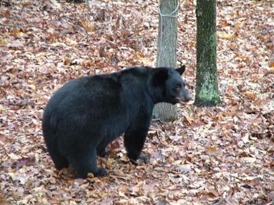 Bill would cover pets under black bear damage fund