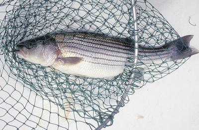 Striped bass fishing cuts to hit Bay anglers harder than watermen