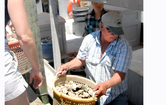 Oyster planting