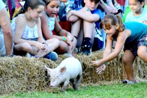 Catching a pig proves slippery proposition