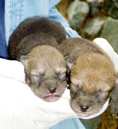 Salisbury Zoo welcomes 5 newborn red wolf puppies | News ...