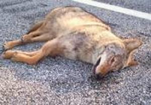 Coyote killed on U S  Route 50Trapper: Shore population has grown