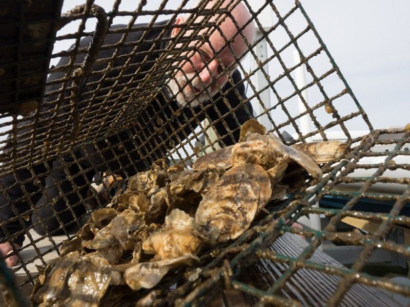 Tests find low levels of 'forever chemicals' in some Maryland oysters