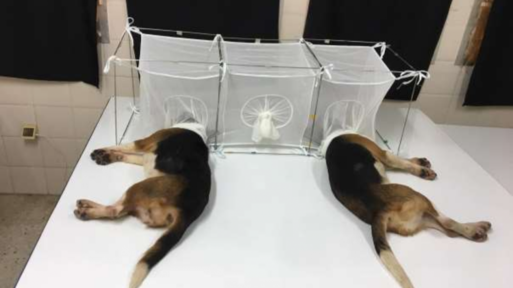 Fauci pressed over U.S. funding of cruel medical experiments on dogs and puppies; Beagles locked in cages with sand flies, vocal cords removed