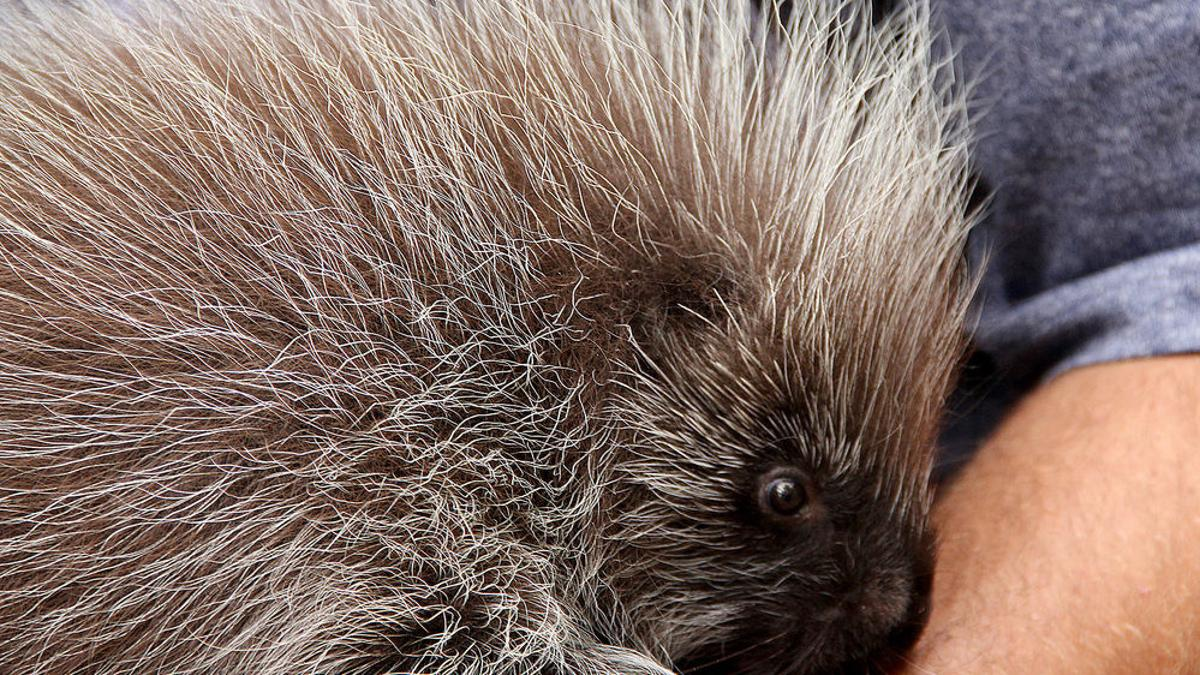 Indian crested porcupine - Encyclopedia of Life | 675x1200