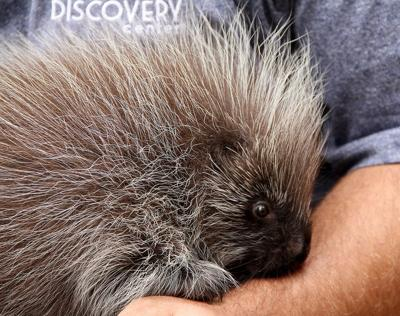 Rescued four-month old porcupine finds a new home at the Riverside Discovery Center