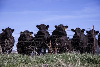 cattle, farm, agriculture teaser