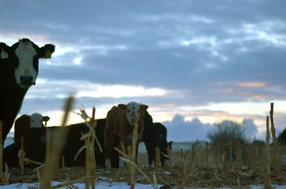 Tag, You're it: Dalton rancher Travis Van Anne has hopes for the future of agriculture