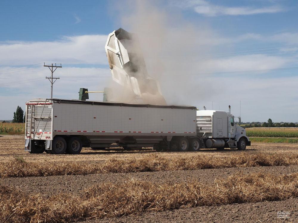 Dry bean harvest moves forward