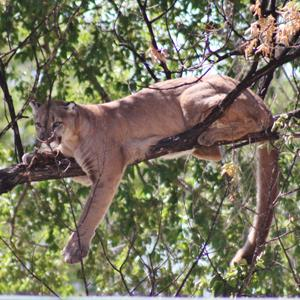 Nebraska Game and Parks Commission monitoring for possible mountain lion in Kimball area
