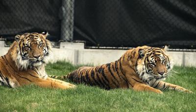 Lincoln Children's Zoo tigers