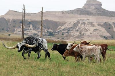 Continuing Minge's Legacy: Steer arrives at Legacy of the Plains