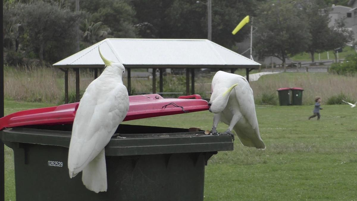 Cockatoos Open Bins