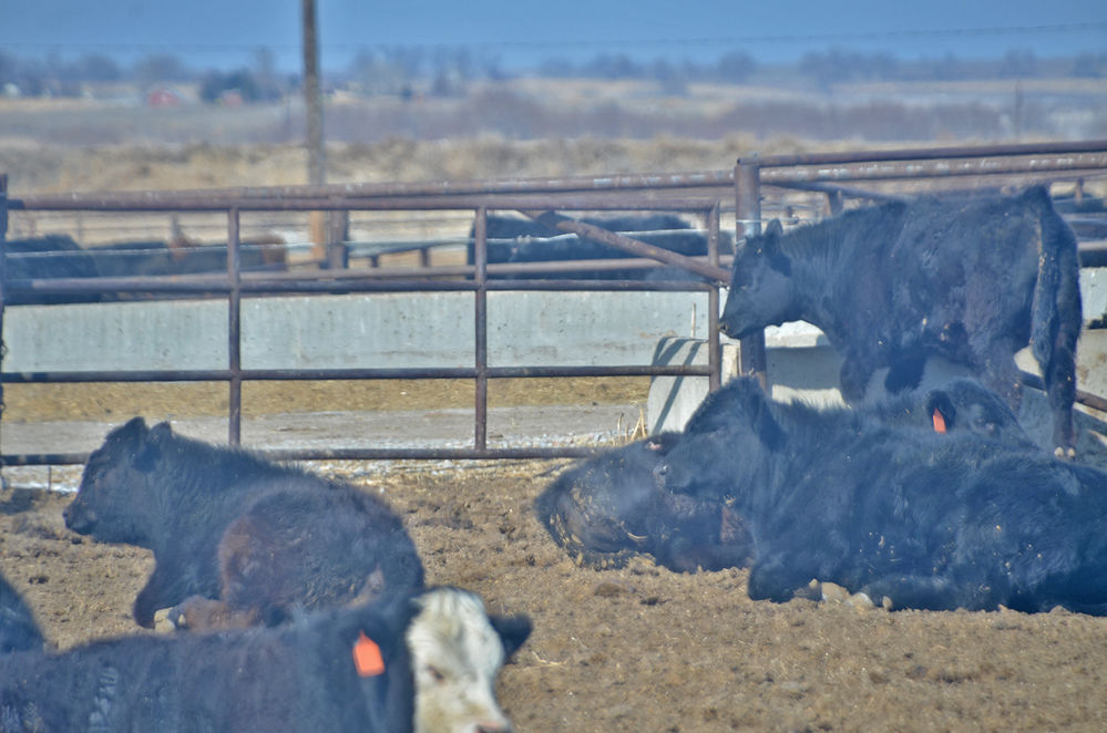 Studies indicate biochar in feed diets reduce the amount of greenhouse gasses from cattle