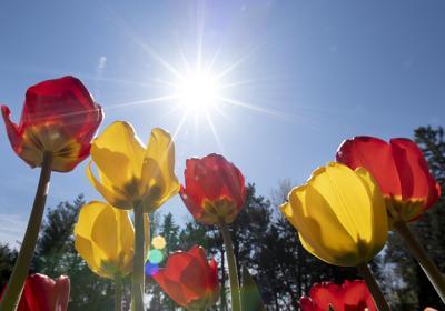 Sunken Gardens tulips