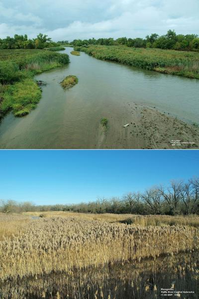 Phragmites: Invasive species in Nebraska