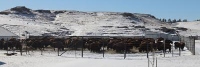 Raising bison at the Rocky Hollow Buffalo Company