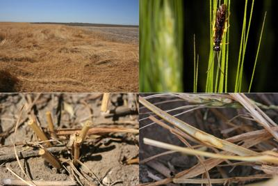 Wheat stem sawfly infestations impact harvest in the Panhandle