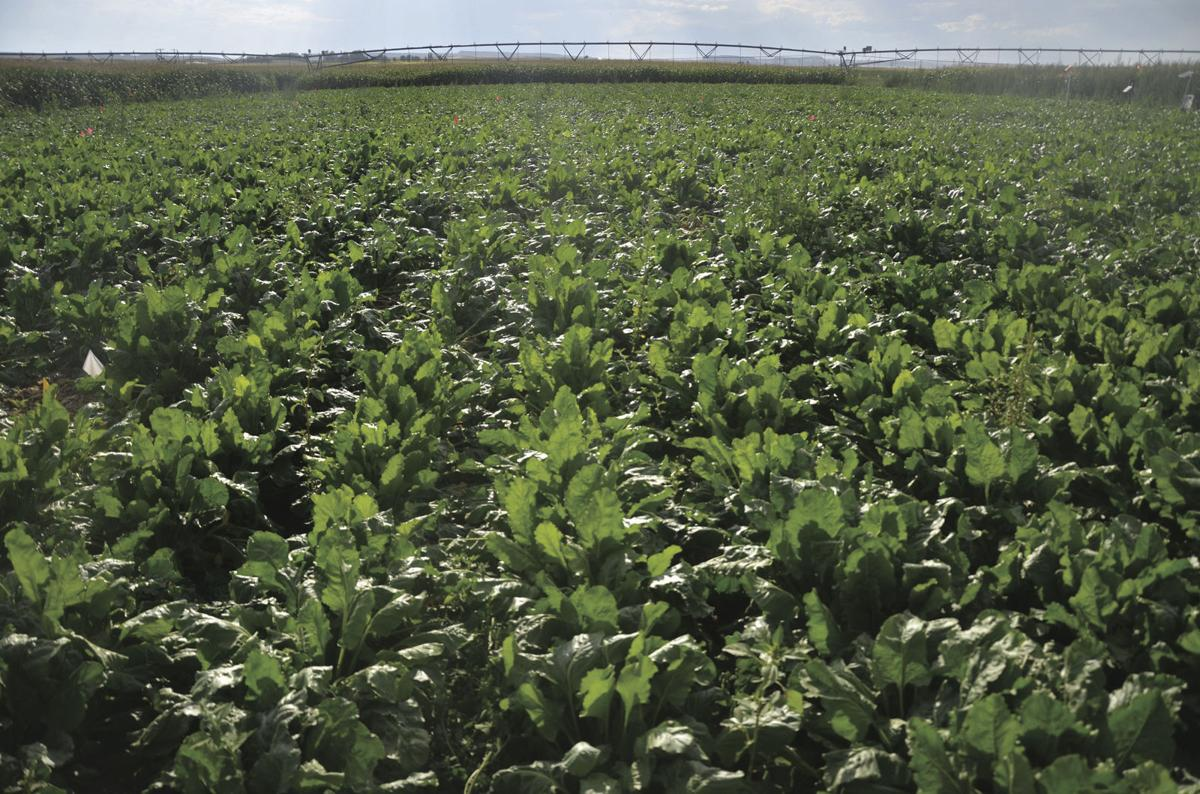 Sweetness factor: Sugarbeets account for around half of domestic sugar market